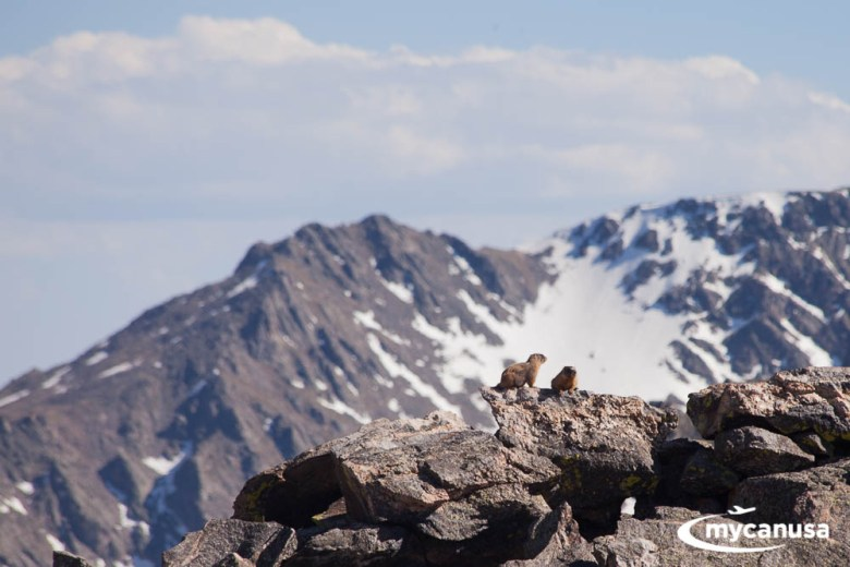 Rocky Mountain Nationalpark Murmeltiere