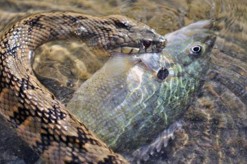 Banded water snake eats fish
