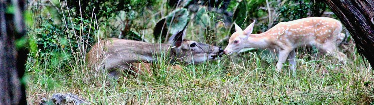 White-tail deer with albino fawn.
