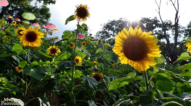 An Unplanned Photo Shoot at the Ka-Tilong Sunflower Farm