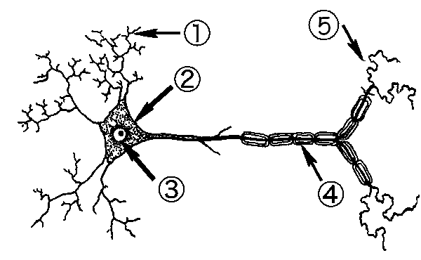 labelled diagram of nerve cell teeth labeled nervous system label the neuron
