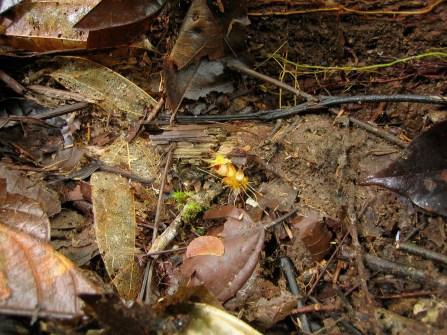 Afrothismia hydra (Thismiaceae) – Korup National Park, Cameroon. Photo by Vincent Merckx