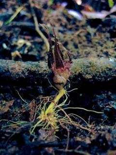 Afrothismia foertheriana (Thismiaceae) – Diongo, Cameroon. Photo by Vincent Merckx