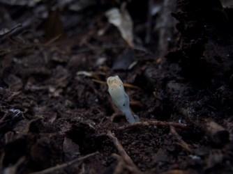 Thismia clavarioides (Thismiaceae) – Morton National Park, Australia. Photo by Vincent Merckx
