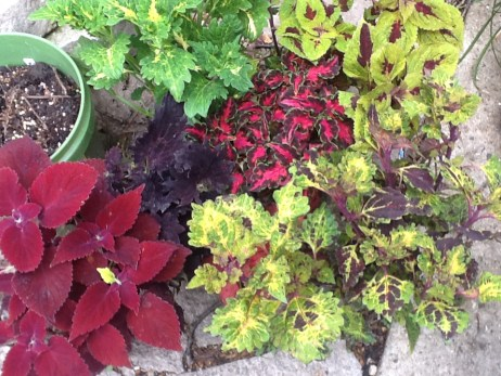 My Vermont View Bounty! Who'd have thought a greenhouse in the middle of nowhere would have so many great Coleus plants?