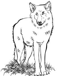 Wolf coloring pages. Download and print wolf coloring pages