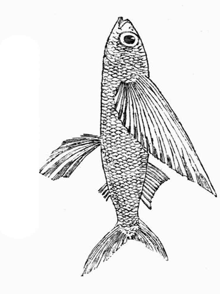 Flying fish coloring pages. Download and print Flying fish