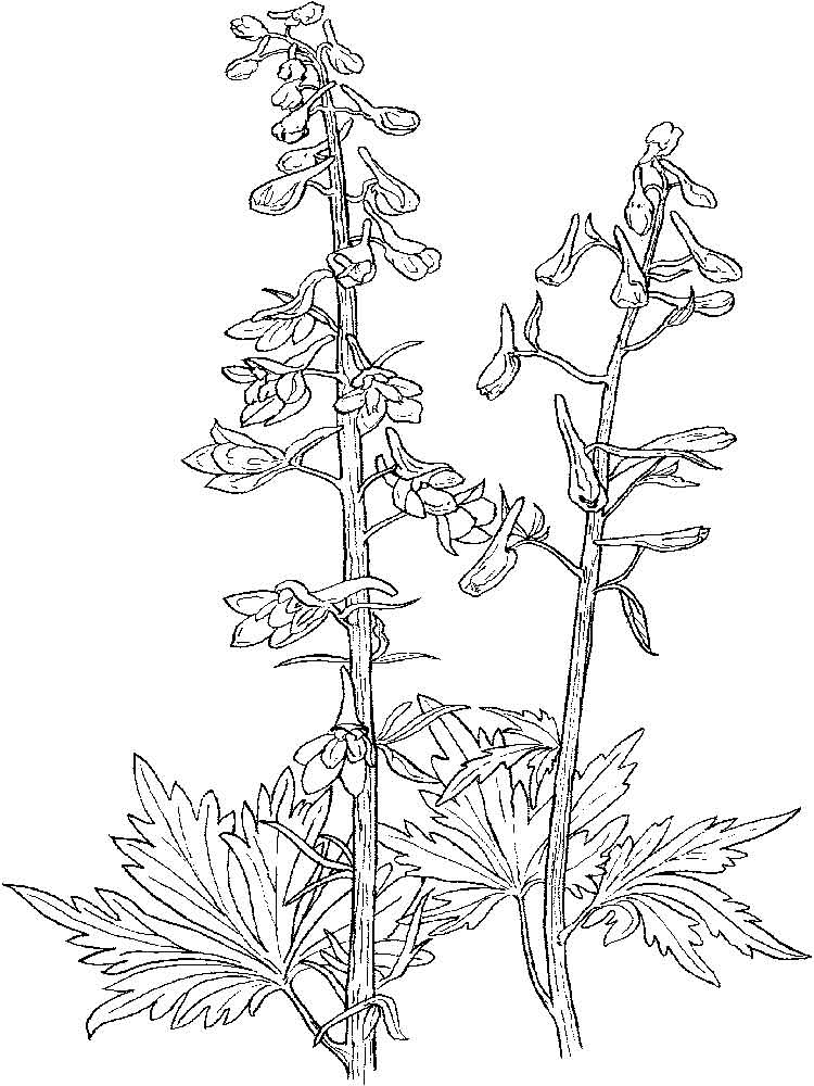 Larkspur Flower coloring pages. Download and print