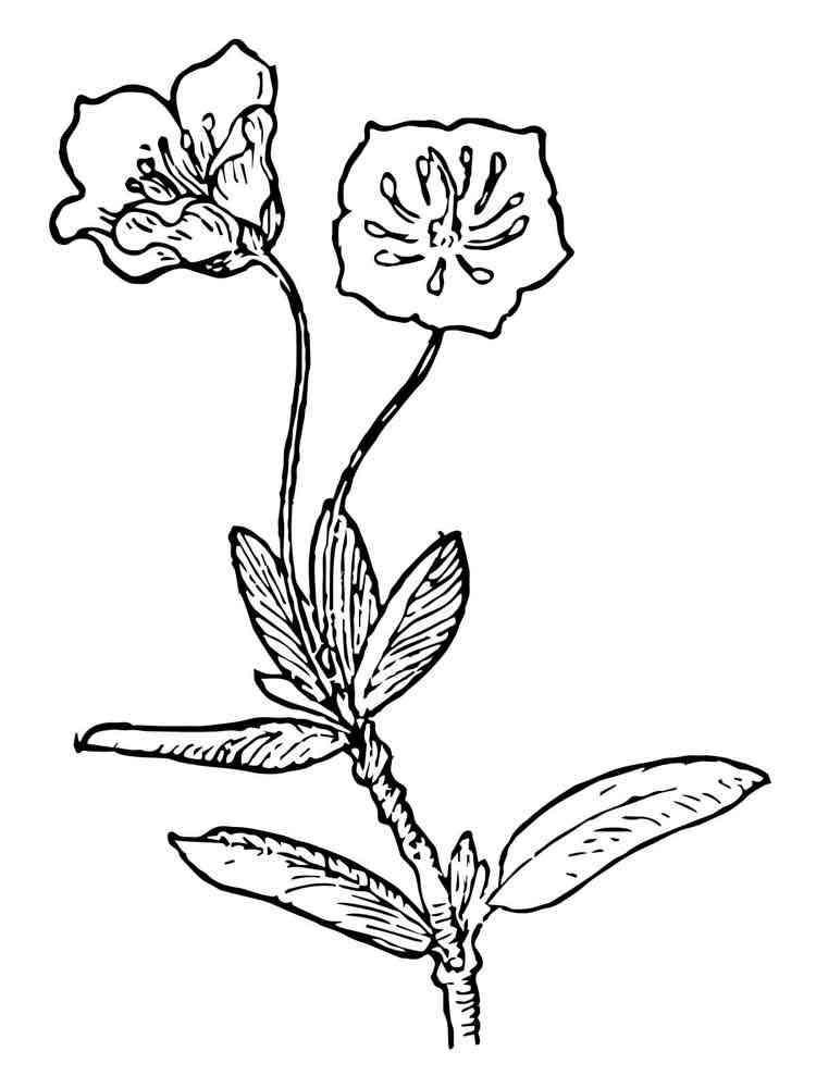 Laurel Flower coloring pages. Download and print Laurel