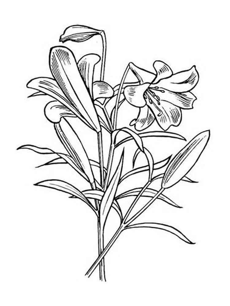 Lily Flower Coloring Pages Sketch Coloring Page