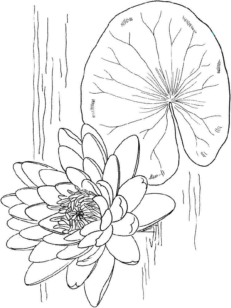 Water lily coloring pages. Download and print Water lily