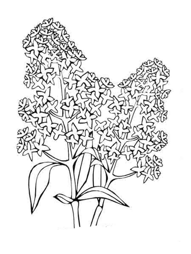 Lilac Flower coloring pages. Download and print Lilac