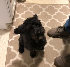 found dog small black poodle mix