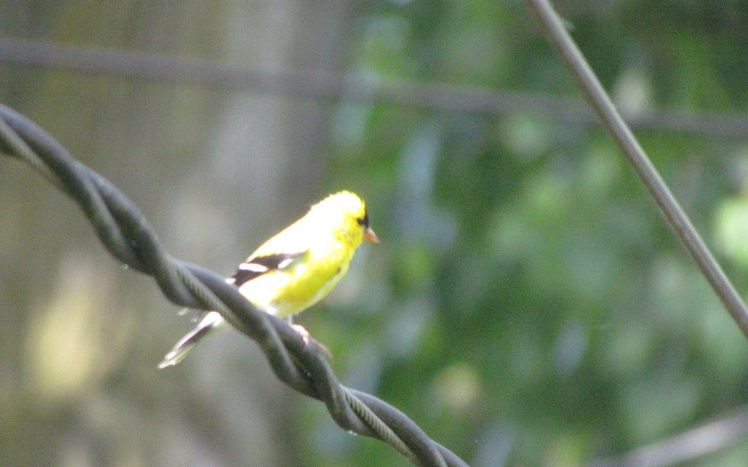 Jolology 101: be observant of the sweet things - goldfinch on a wire