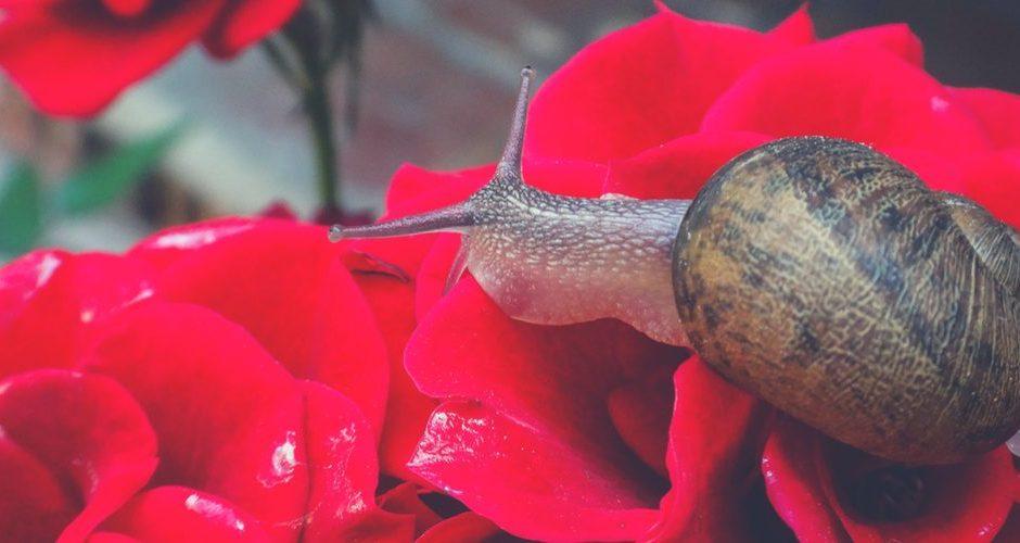cuento del caracol y rosal