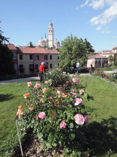 Santa Giustina Rose Garden, Queen Elizabeth