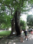 Hollow plane tree