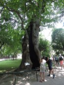 Hollow plane tree