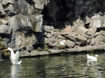 Funny ducks, Valsanzibio Gardens