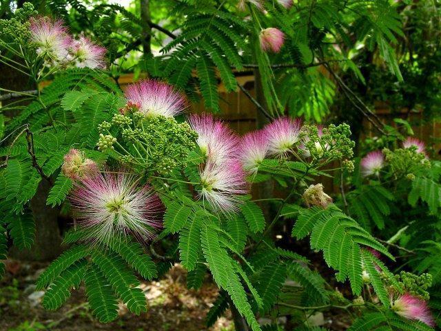 Hostilis Find Where Mimosa