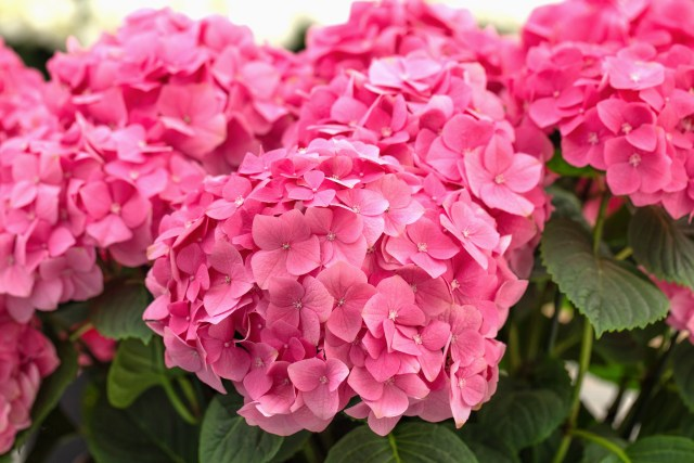 Hydrangeas are relatively easy to look after. Thriving in the morning sun and afternoon shade. They only need a good soaking of water. Simple. Here are 4 secrets you need for potted Hydrangeas.
