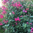 Salvia 'Pink Blush'