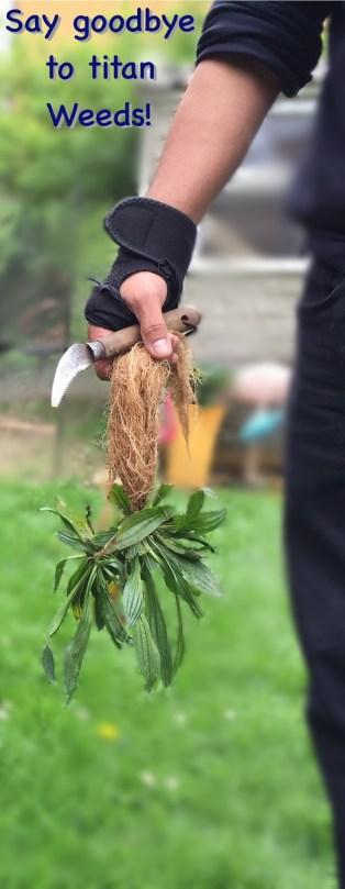 Ribwort plantain weed