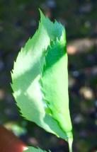 folded rose leaf