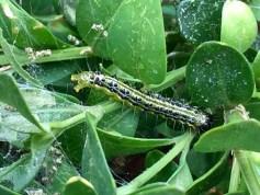 box tree caterpillar
