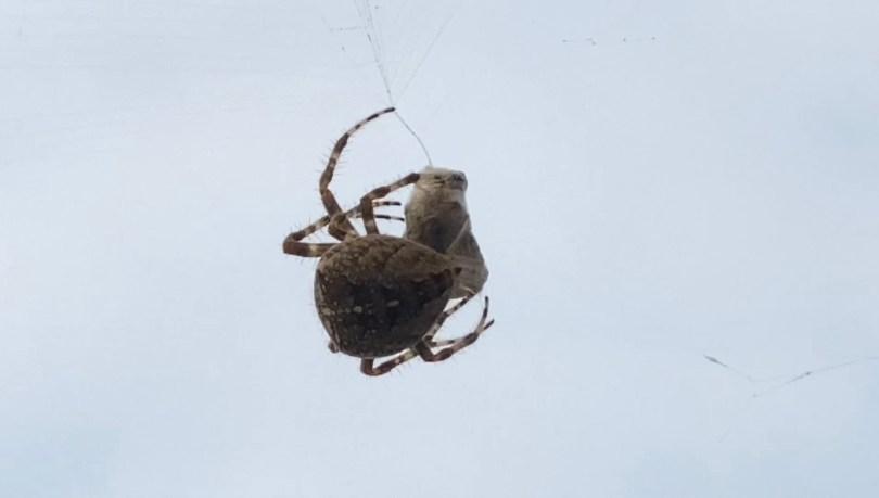 orb web spider wrap prey image