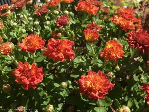 Des fleurs rouges! (Mums)