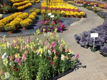 Mums and snaps in full bloom