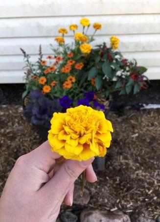 Gorgeous marigold