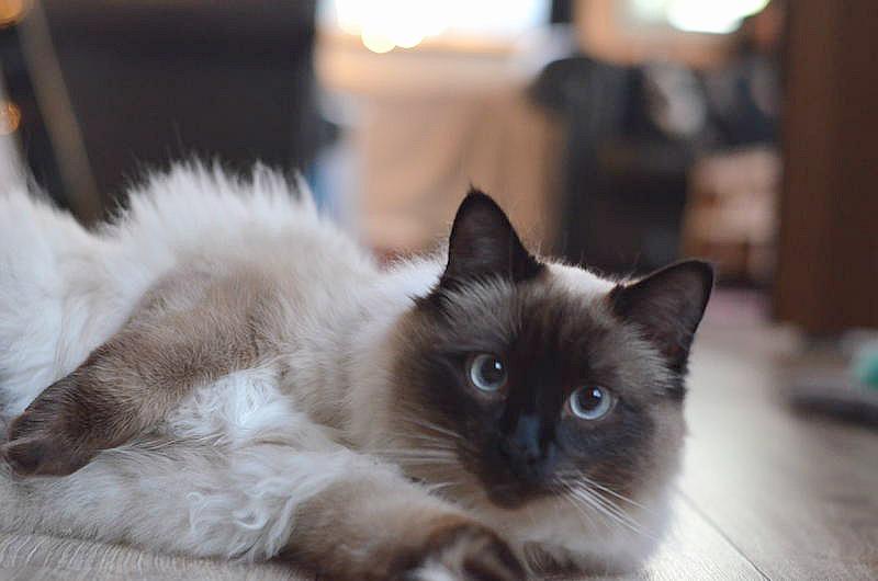 ragdoll-noorse-boskat-kater-kitten