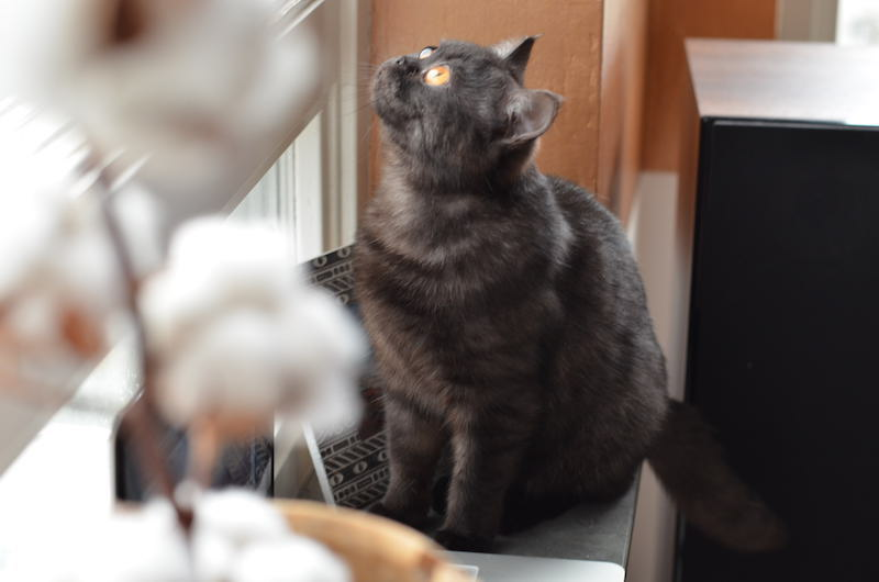 britse-kort-haar-poes-kitten