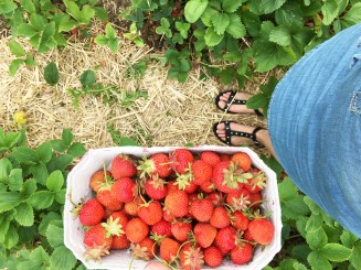 Strawberry picking 11