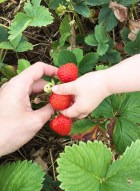 Strawberry picking 12