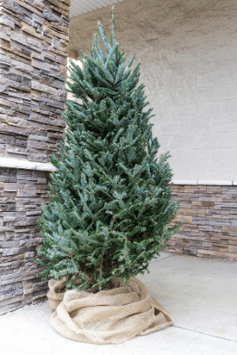 still need a christmas tree today only lowes is offering 25 off fresh cut christmas trees