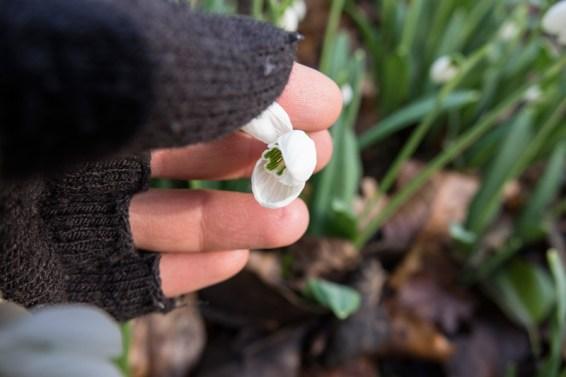 Underneath Galanthus plicatus 'Durris'