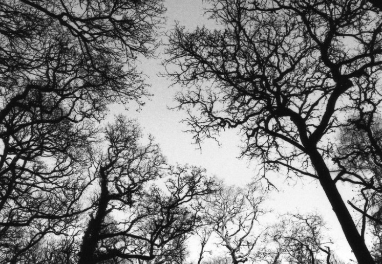 Black and white oaks taken on a film camera