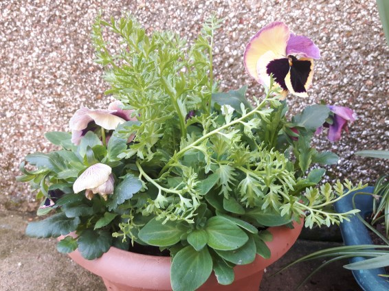Petunia, Limnanthes and Pansies