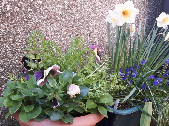 Petunia, Limnanthes and Pansies go well with peach-coloured daffodils