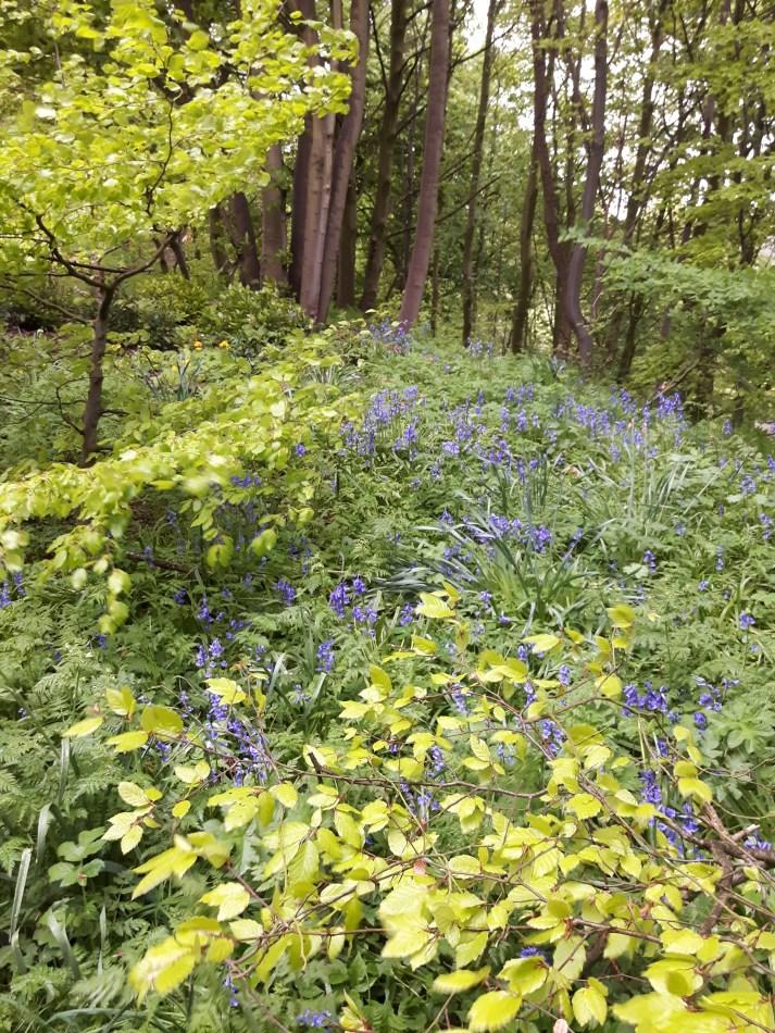 Beech and bluebells