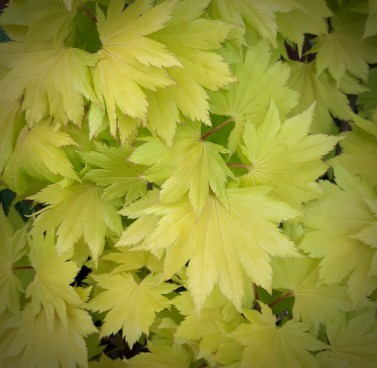 Yellow Acer leaves