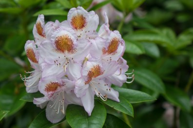 Late flowering Rhododendron in Pitlochry