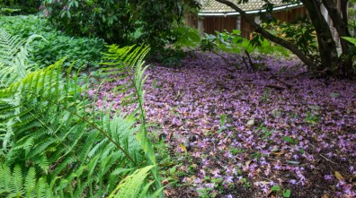 Carpet of Rhodendron flowers