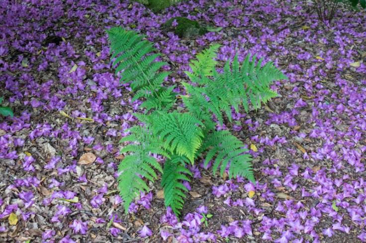 Fern with Rhodendron flower carpet