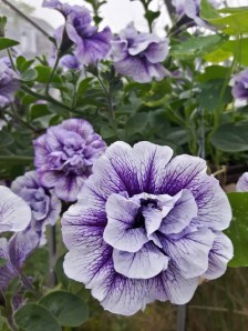 Double-flowered Petunia