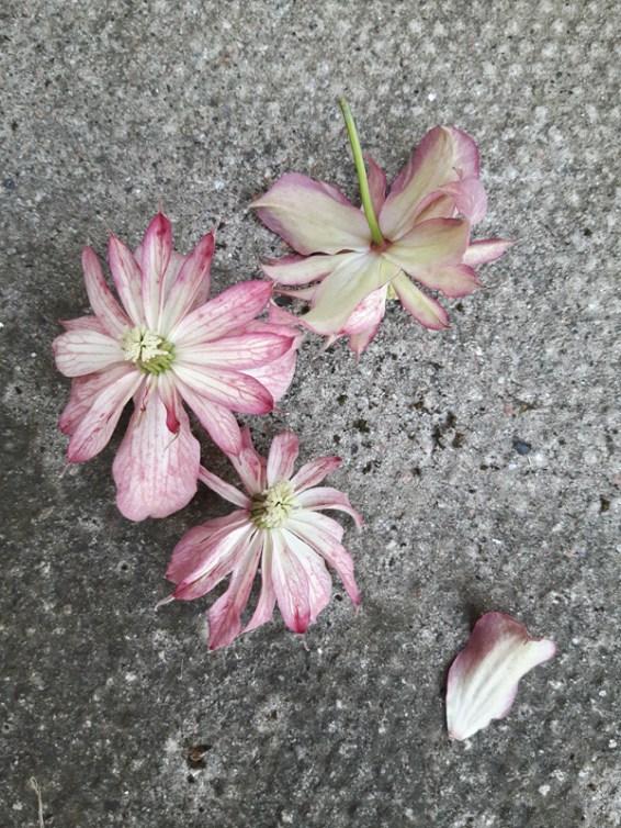 Clematis 'Marjorie' flowers close up