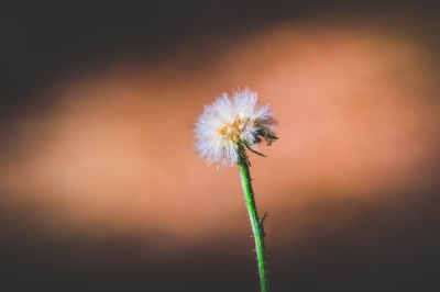 myddelton-gallery-dandelion